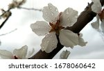 White Cherry Blossoms With...