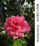 Small photo of Pink flower rose rosier tree