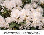 Cunningham\'s White Rhododendro...