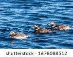 Long Tailed Duck  Clangula...
