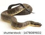 Small photo of Common puff-faced water snake (Homalopsis buccata), banded water snake, or banded puff-faced water snake isolated on white background