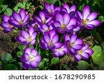 Springtime close up of violet...