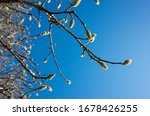 Magnolia Tree In Early Spring...