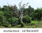 Old Dry Relict Tree On The...