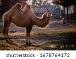 Zoo Camel Standing In Sunset ...
