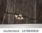 Flying Bald Eagle Soaring...