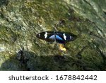 Small photo of Laparus doris, Doris longwing, Doris butterfly with black, blue and white wings on a rock