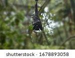 Sleeping Bat Hangs Upside Down. ...