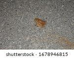Brown Black Tree Frog Sits On...