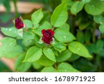 Red Rose Bush In A Botanical...