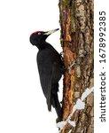 Lack Woodpecker  Dryocopus...