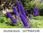 """alpine Delphinium"" Flowers  O..."