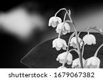 Delicate Lily Of The Valley...