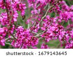 Bright Pink Cercis Tree Flowers....