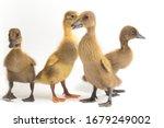 Four Ducklings   Indian Runner...