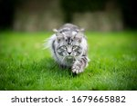 Silver Tabby Maine Coon Cat...