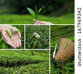 Beautiful Collage Of Tea Bushe...