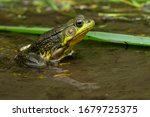 A Green Frog Is Sitting In The...