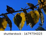 Yellowing Mulberry Leaves On A...