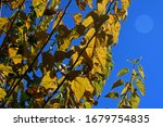 Yellow Mulberry Leaves On...