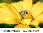 Bee Pollinates A Yellow Flower...