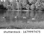 Four Geese On A Lake Swimming...