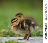 Small photo of Duckling (hatchling) portrait with sibling