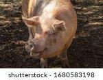 Adult Pig. Farm Animal. Pig In...