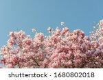 Magnolia In Bloom In Spring In...
