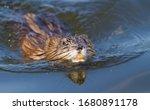 Muskrat, musquash, Ondatra zibethicus, Bisamratte, ondatra. Muskrat swim on the river