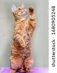 Young Striped Ginger Cat...