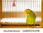 Green Budgerigar Parrot Close...