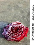 Frozen Red Rose On Stone...