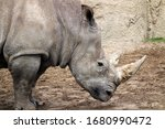 Rhinoceros Walking In Wildland...
