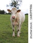 Charolais Cow Grazing On...