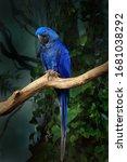 Blue Hyacinth Macaw ...