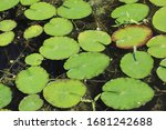 Water Lily Leaves On The...