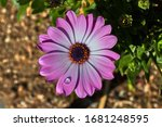 Purple And White Daisy With...