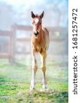 Foal On The Spring Grass In The ...