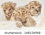 Three Cute Lions Cubs  Panther...