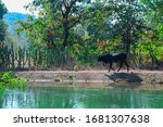 Black Coloured Cow Crossing The ...
