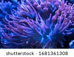 Sea Bubble Tip Anemone Under...