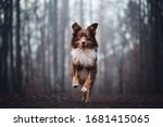 Australian Shepherd Running In...
