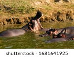Hippos Rest During The Day In...