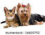 Stock photo the terrier and cat in studio 16820752
