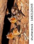 Intermediate horseshoe bat ...