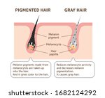 mechanism of pigmented hair and ... | Shutterstock .eps vector #1682124292