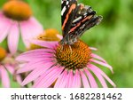 Butterfly. Admiral Pollinates...