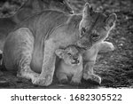 Mono Lioness Nuzzling Cub At...