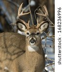 Whitetail Buck Looking At You